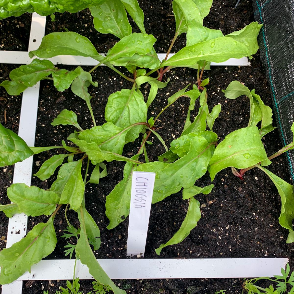 Kleine plantjes van de Makkelijke Moestuin Chioggia biet
