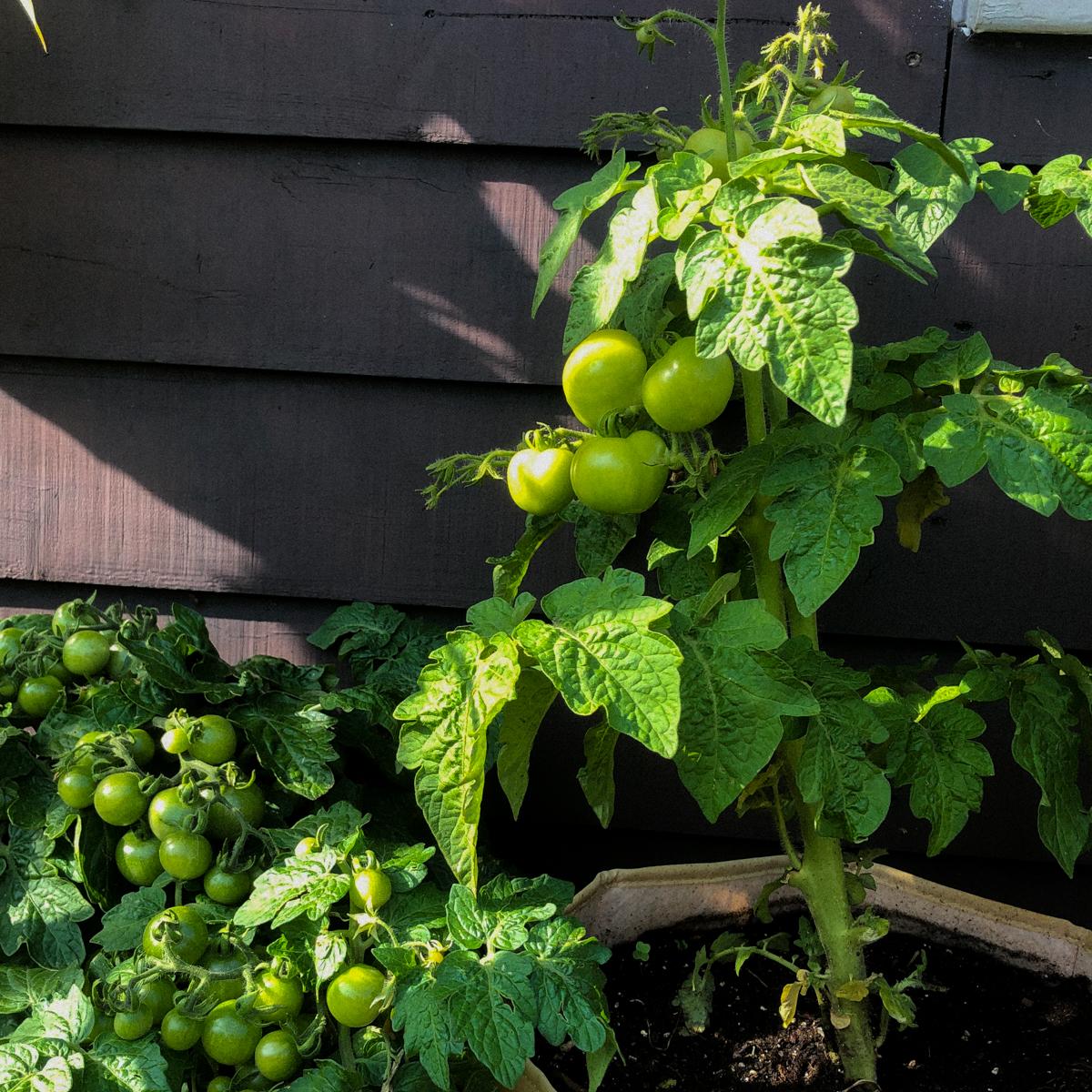 Geef een balkon tomaat wat steun