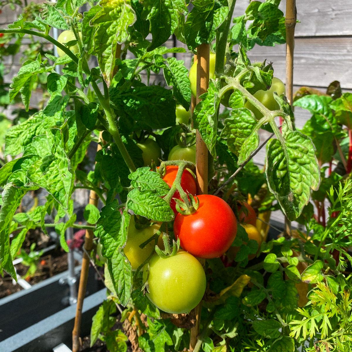 Rijpende tomaten aan de Makkelijke Moestuin balkontomaat