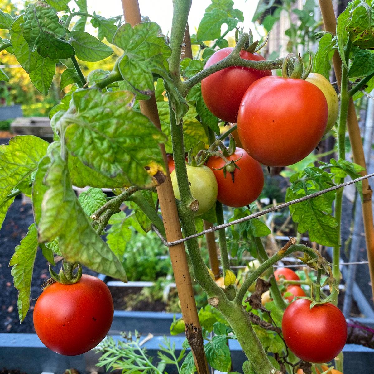 Balkontomaat eind augustus: knip het blad voor de rijpende tomaten weg.