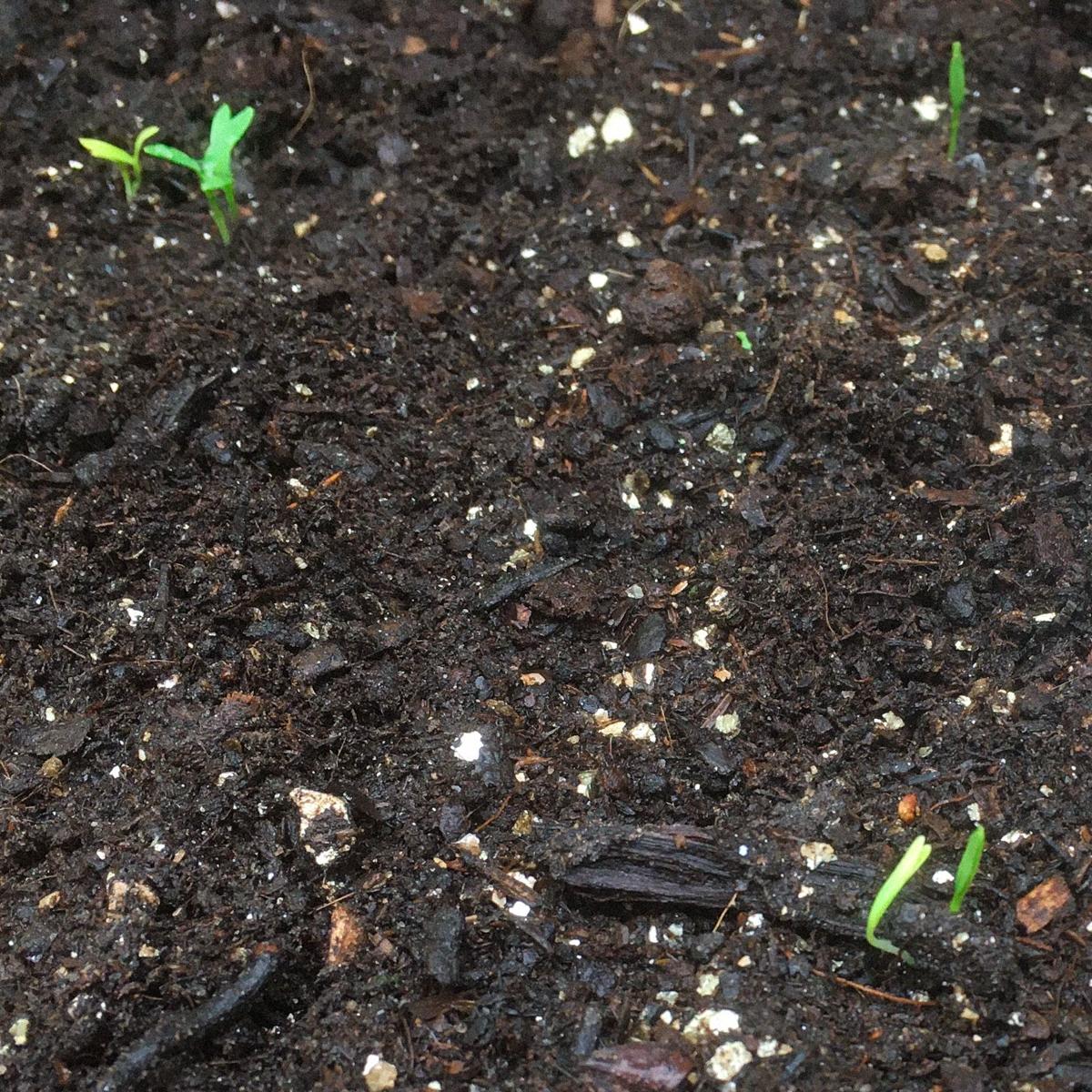 Zaailingen van koriander in de Makkelijke Moestuin