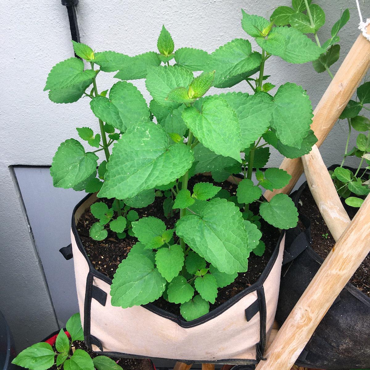 Dropplant in een Makkelijke Moestuin-mini