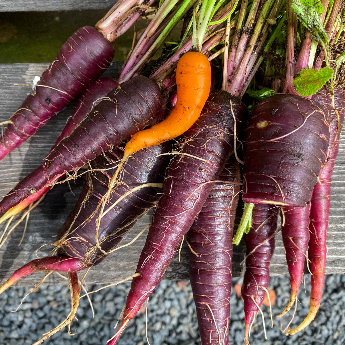 Bos paarse wortels uit de Makkelijke Moestuin