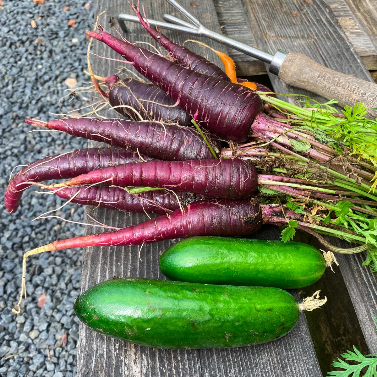 Oogst paarse wortels Makkelijke Moestuin na 14 weken