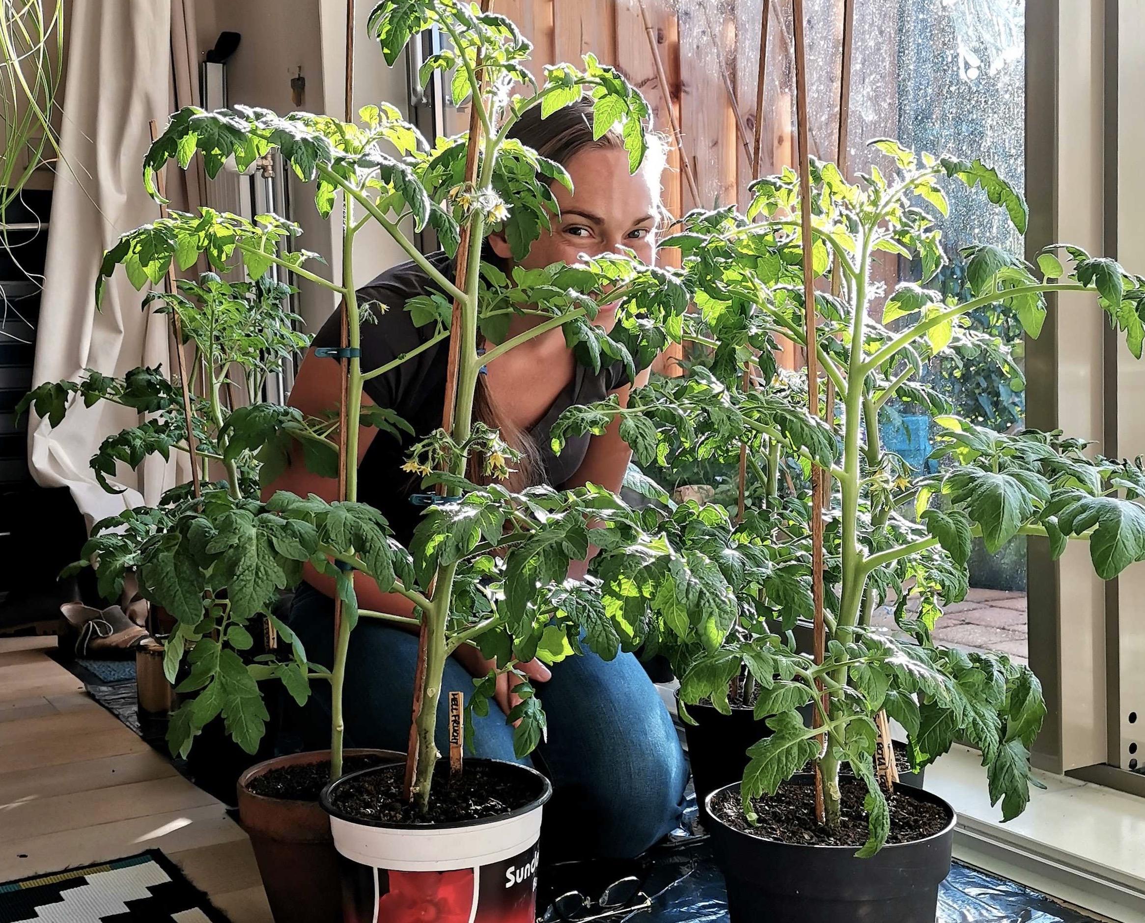 Te vroeg binnen voorzaaien geeft veel te grote planten