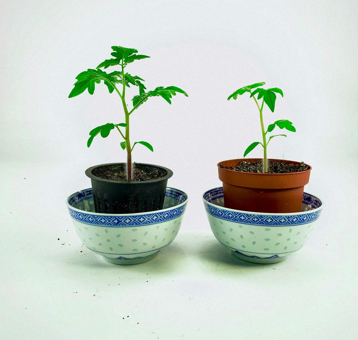 Verschil in groei: links plantje in Airpotje, rechts in gewoon potje