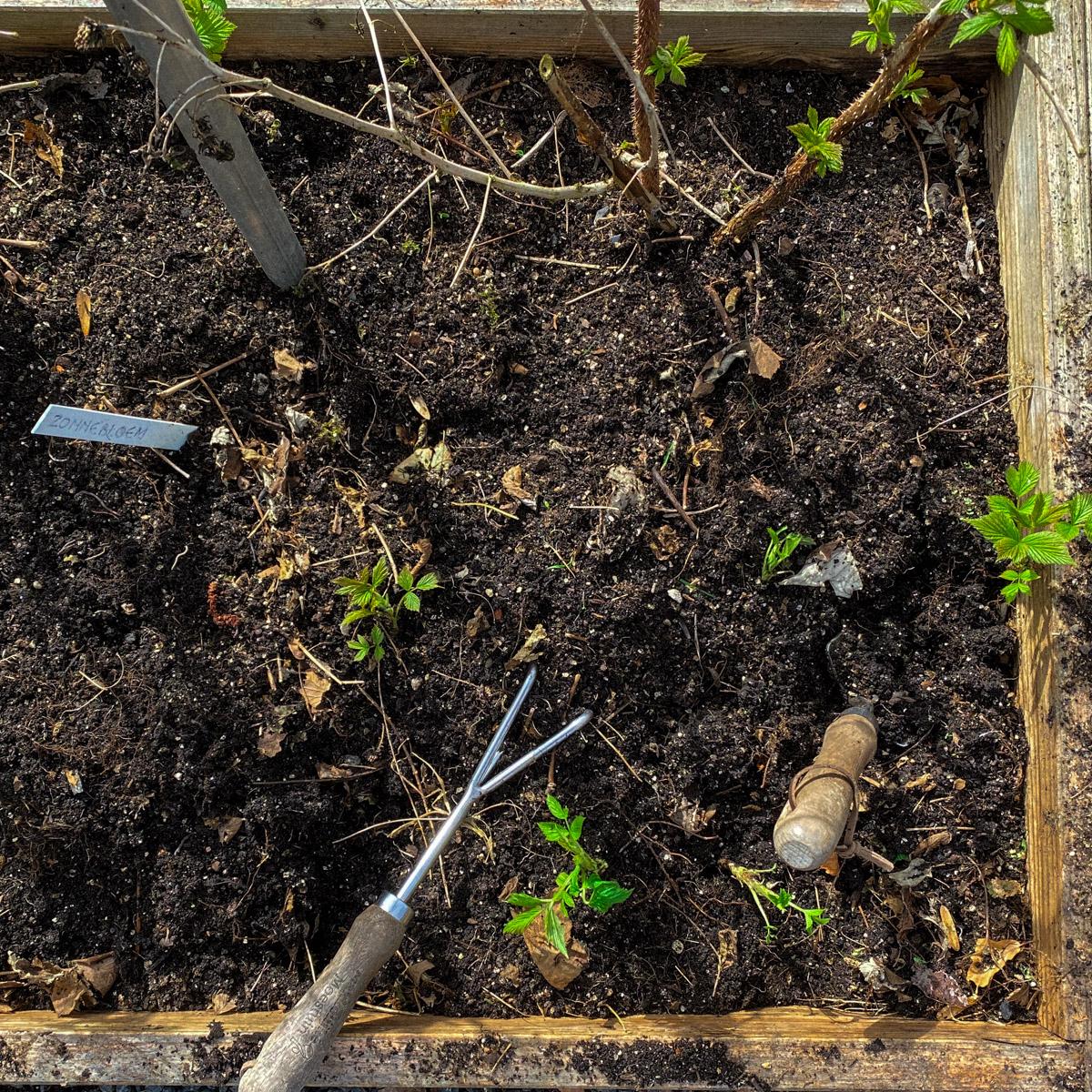 Haal uitlopers van frambozenplanten in het voorjaar weg