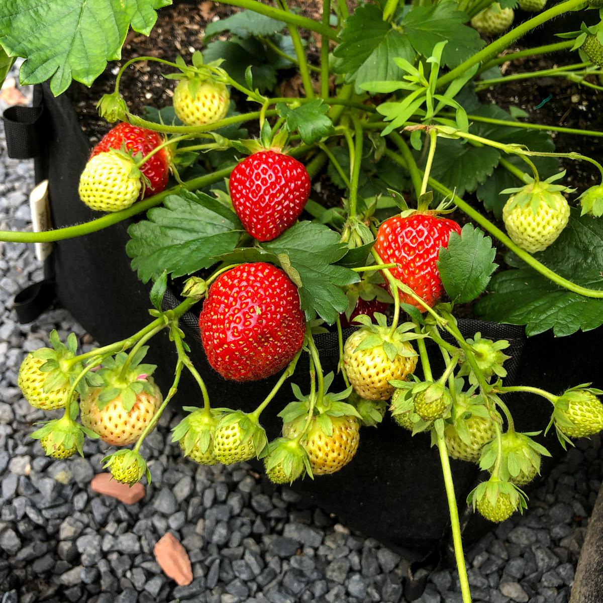 Gezonde aardbeienplant in een Makkelijke Moestuin-mini