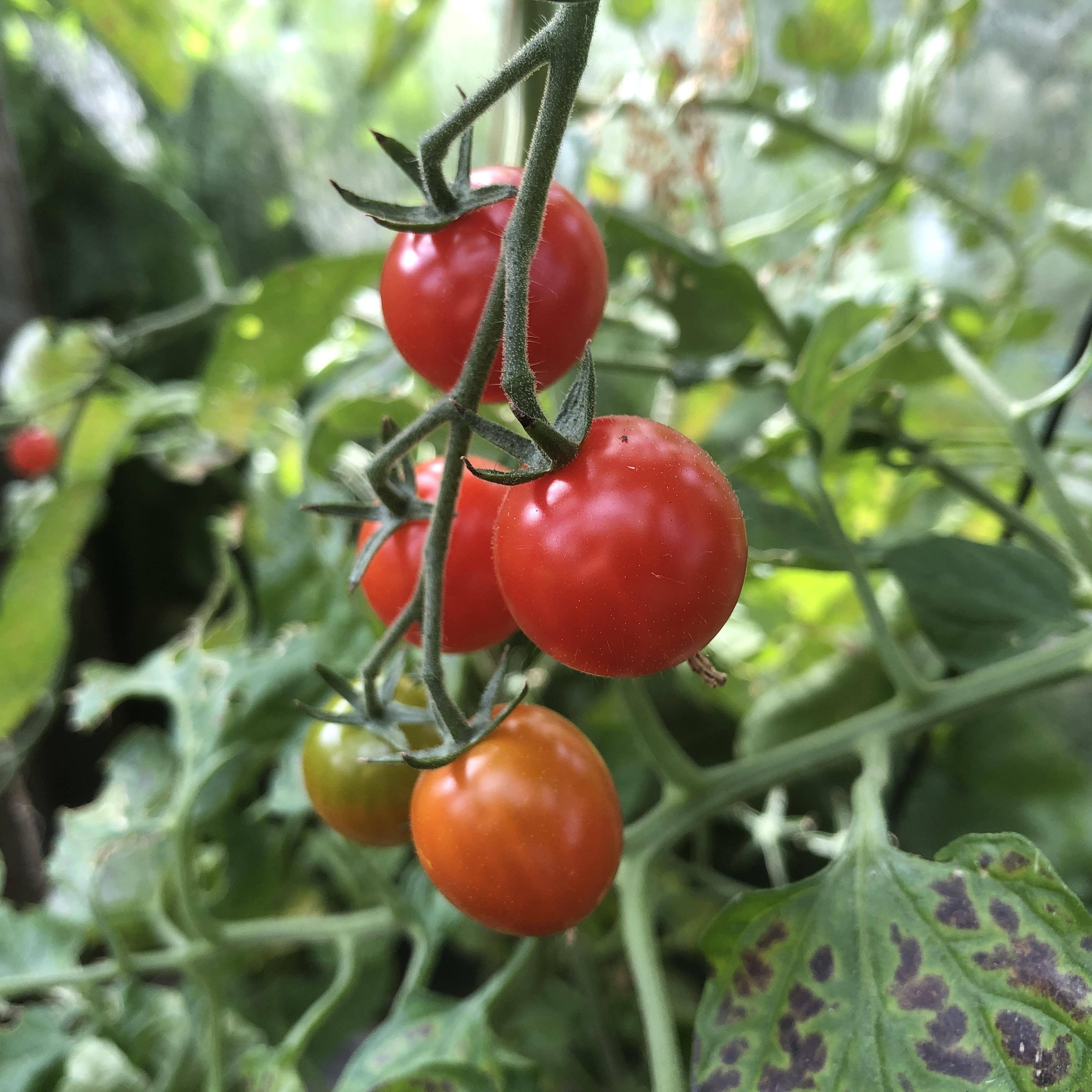 Cherry tomaten aan een klimrek