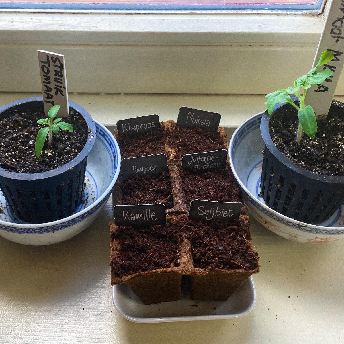 AH Moestuinmaatjes tussen mijn voorgezaaide tomaten op de vensterbank
