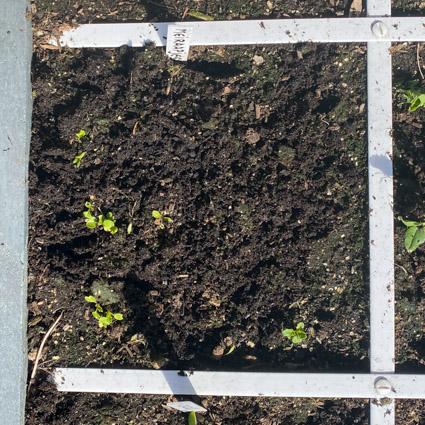 Zielige zaailingen in een koud april: die gaan het niet redden