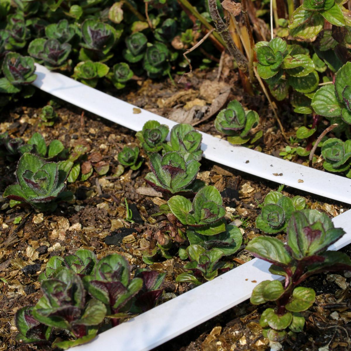 Munt maakt lange wortel uitlopers aan en duikt dan overal op