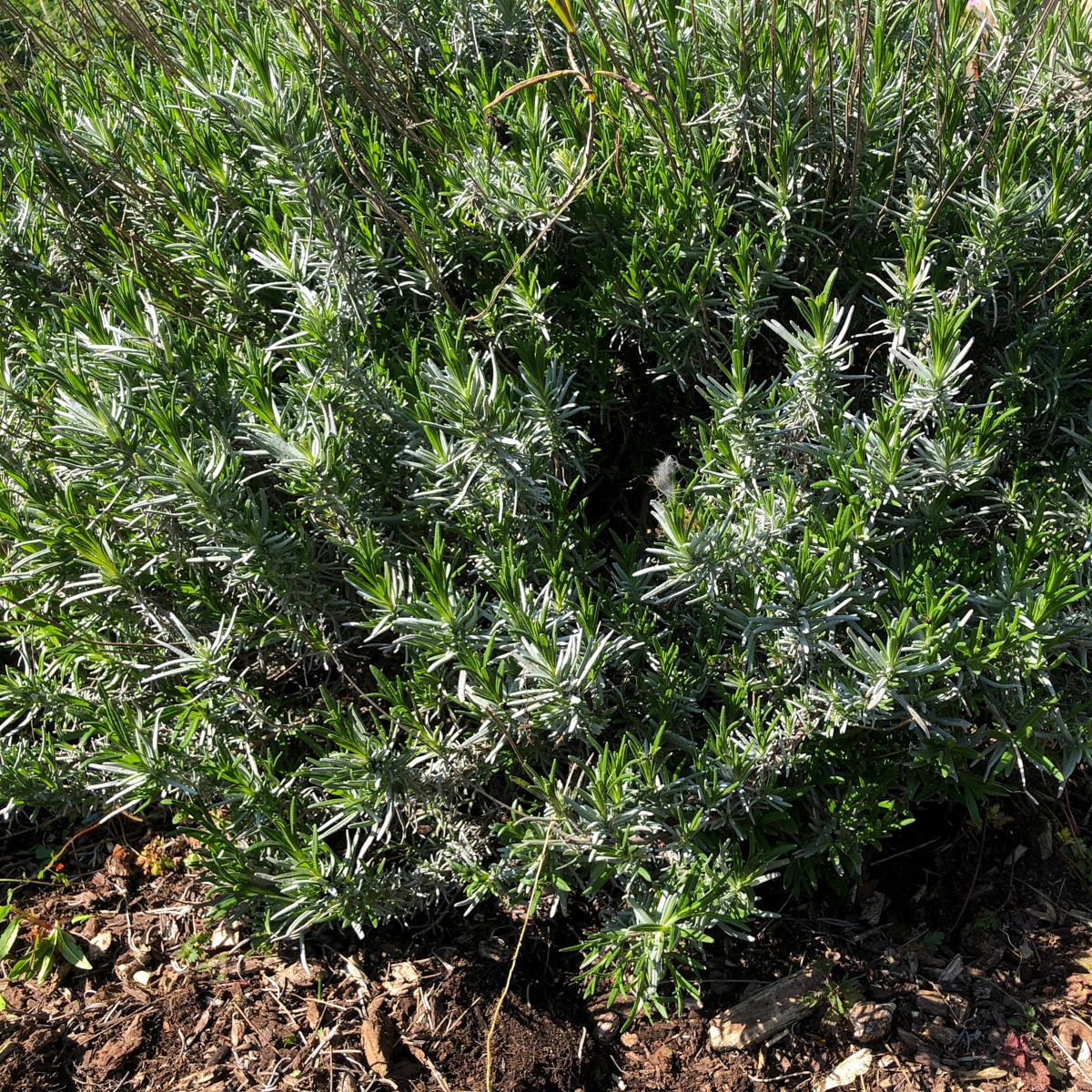 Vierjarige lavendelplant: de bak is niet meer te zien