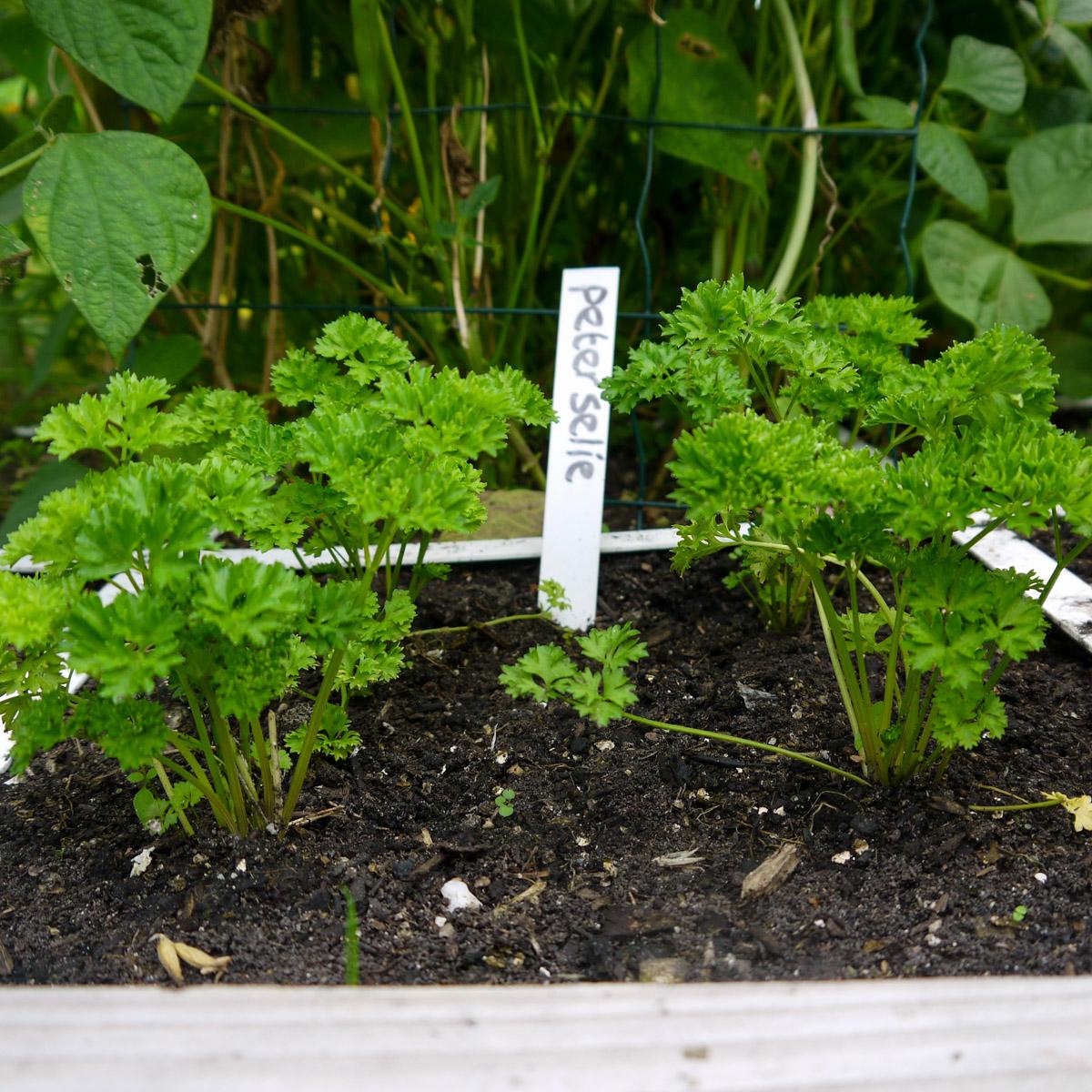 Vier kleine peterselieplantjes in een vak
