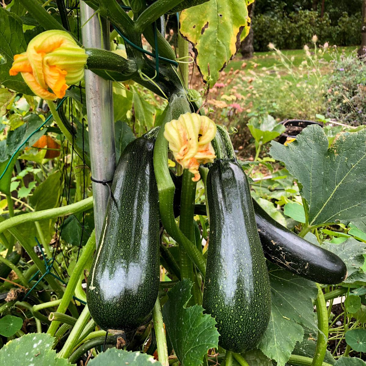 courgette-oogsten.jpg