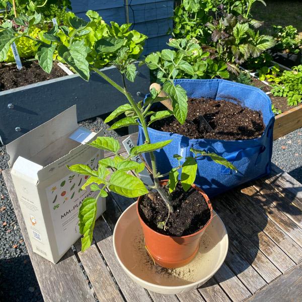 voeding-tomaat-mini-3.jpg
