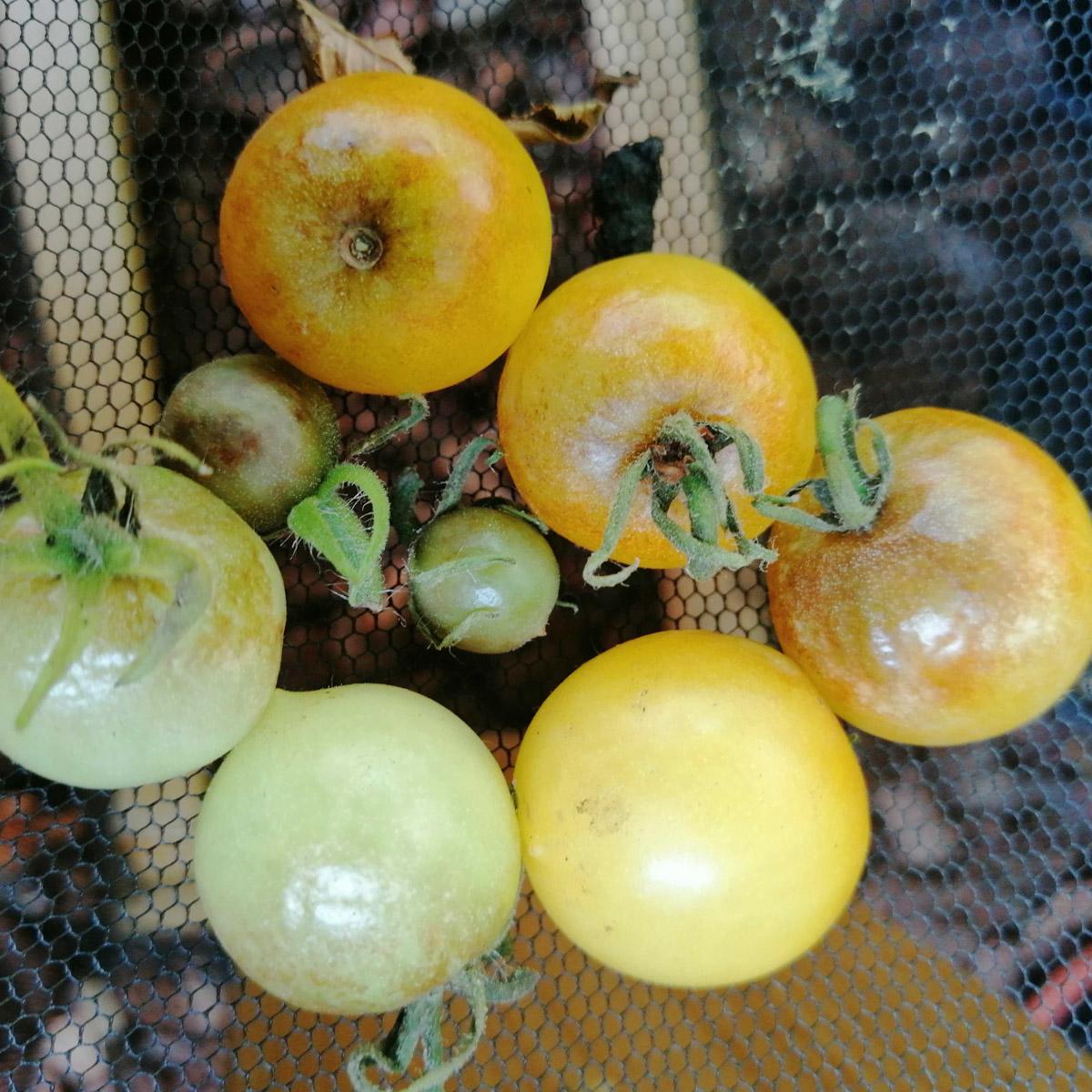 tomatenziekte-02.jpg