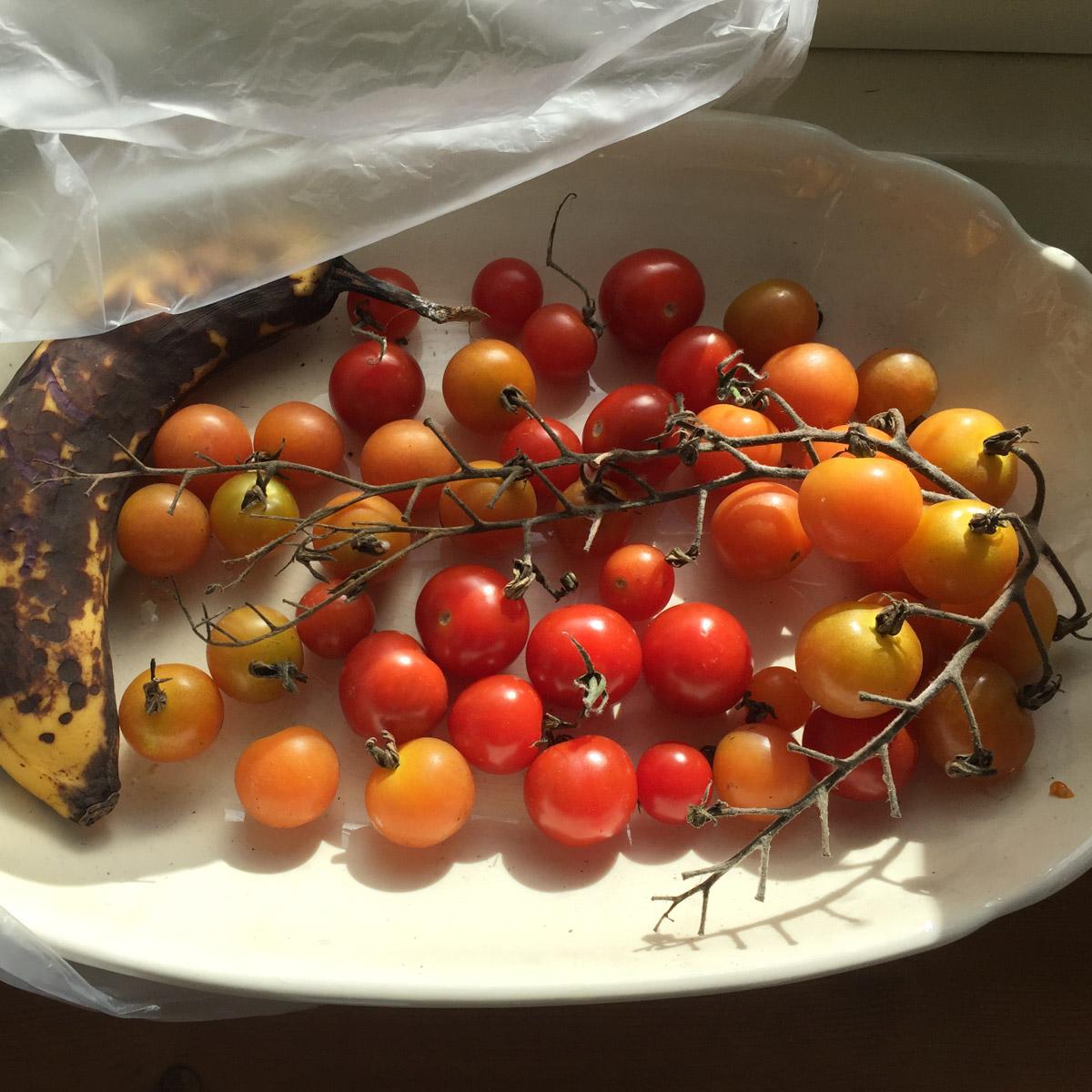 tomatenziekte-rijpen-in-vensterbank.jpg