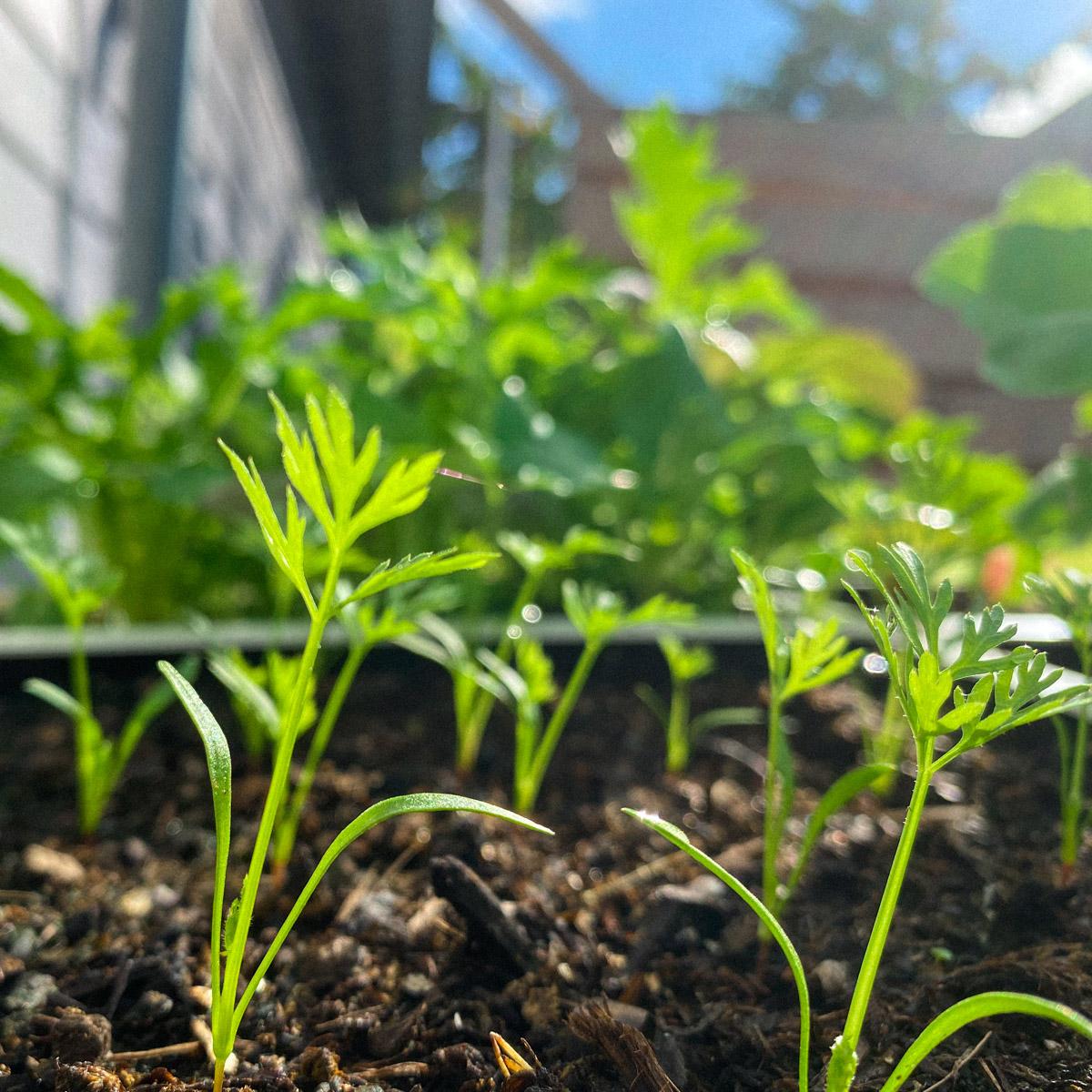 september-rondje-moestuin=wortel-zaailingen.jpg