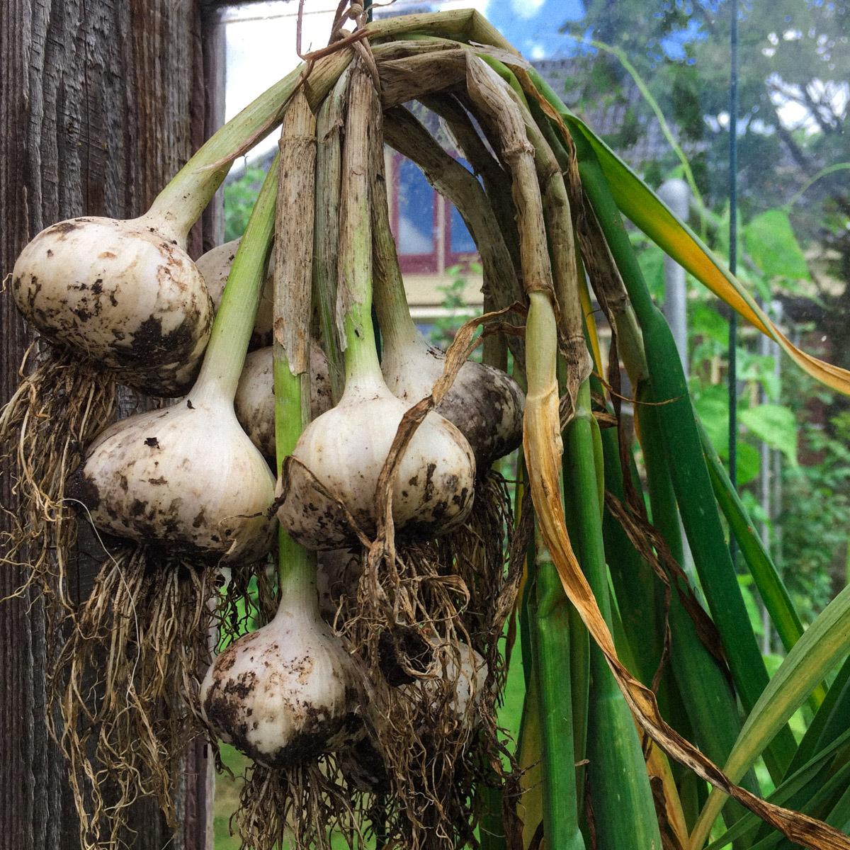 netgeoogste-knoflookplanten.jpg