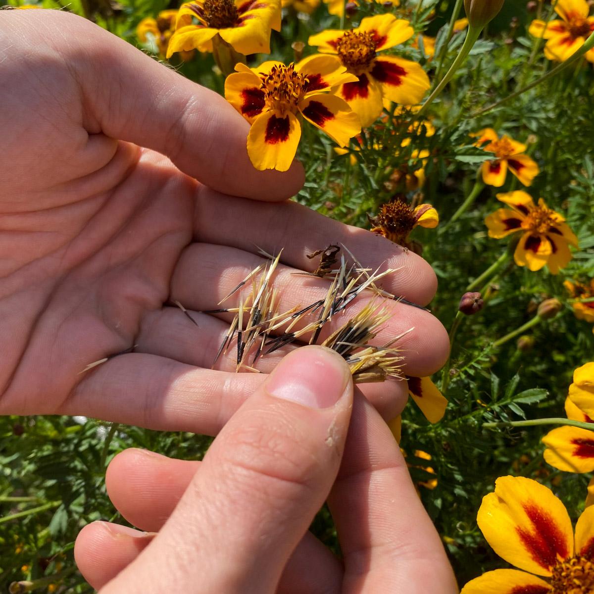 zelf-zaden-oogsten-08.jpg