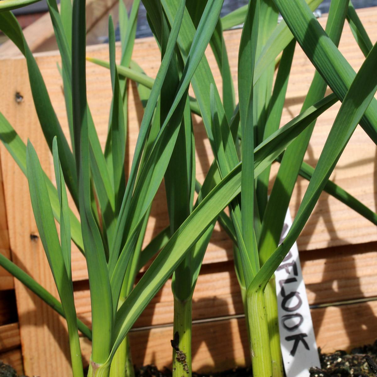 medium-knoflookplanten.jpg