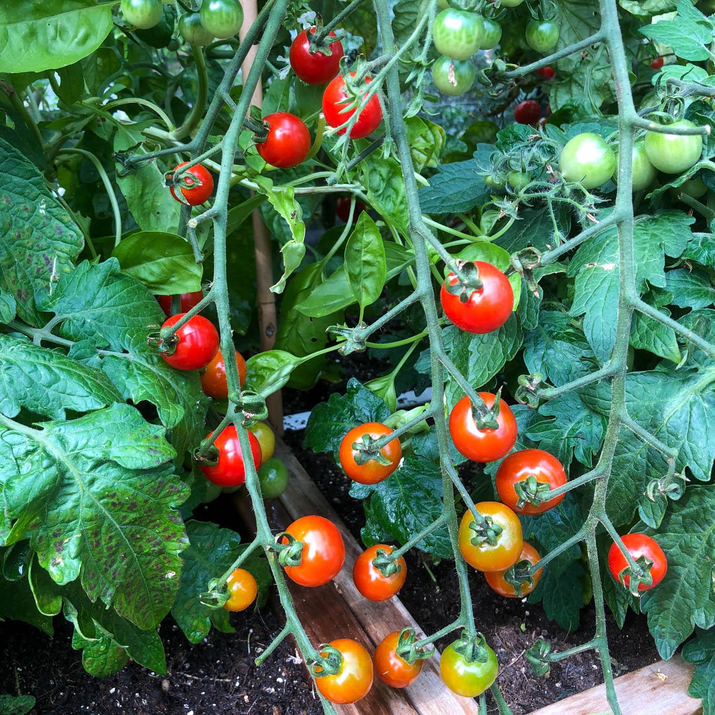 Tomaten-zaden-2.jpg