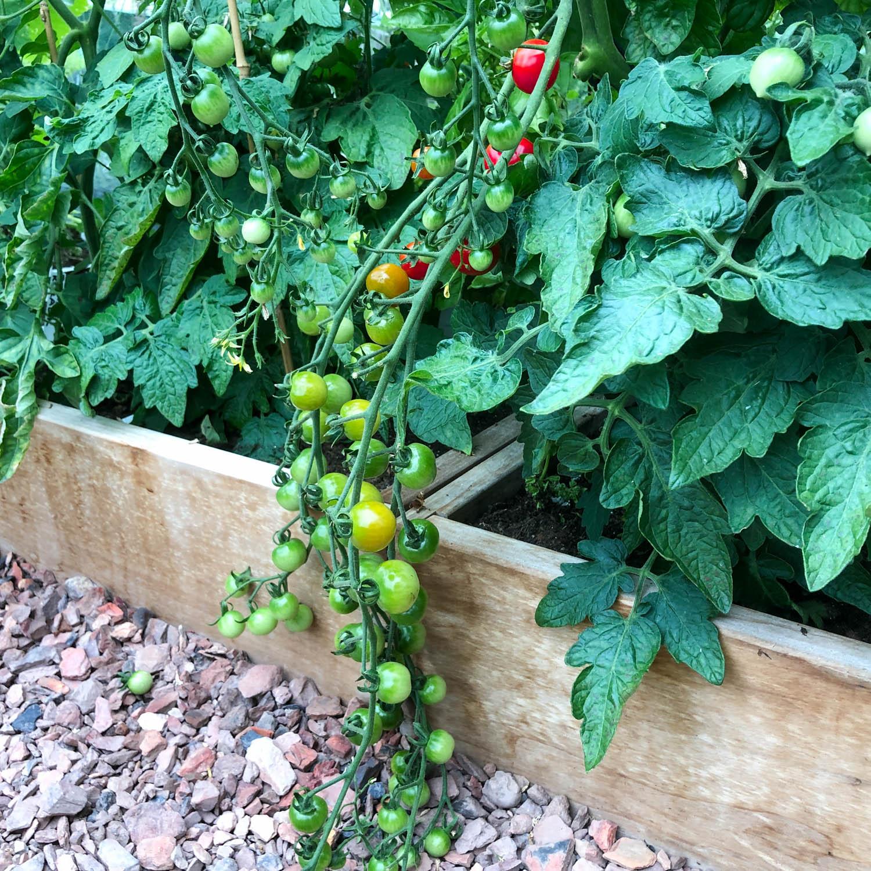 Tomaten-zaden-3.jpg