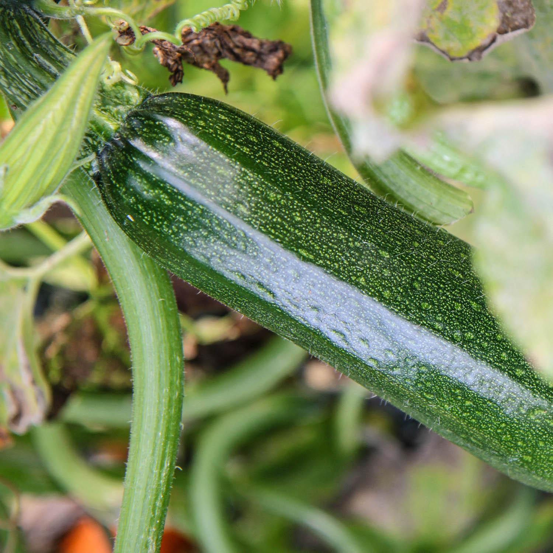 Courgette-zaden-3.jpg