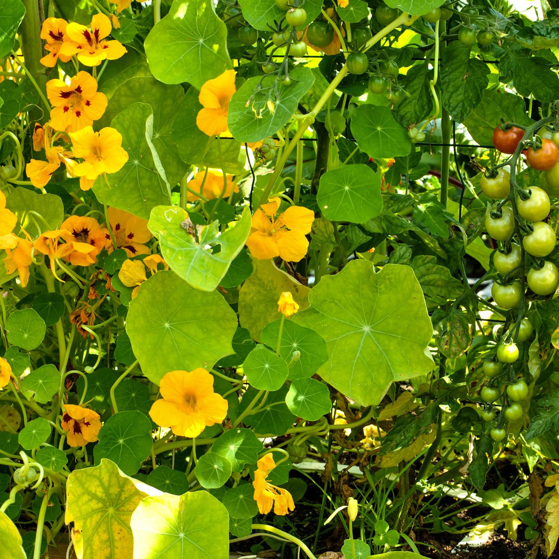 Oost-Indische-kers-zaden-kopen-4.jpg