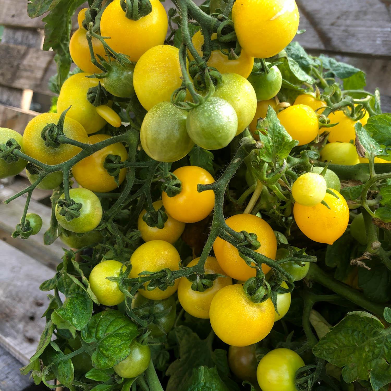 Gele-struik-tomaat-zaden-kopen-2.jpg